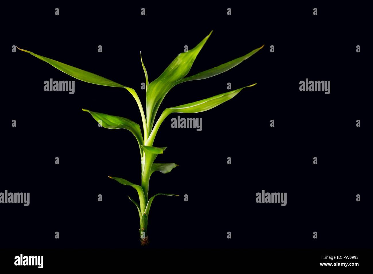 Ecologia Concetto di immagine con bambù levetta su sfondo nero Immagini Stock