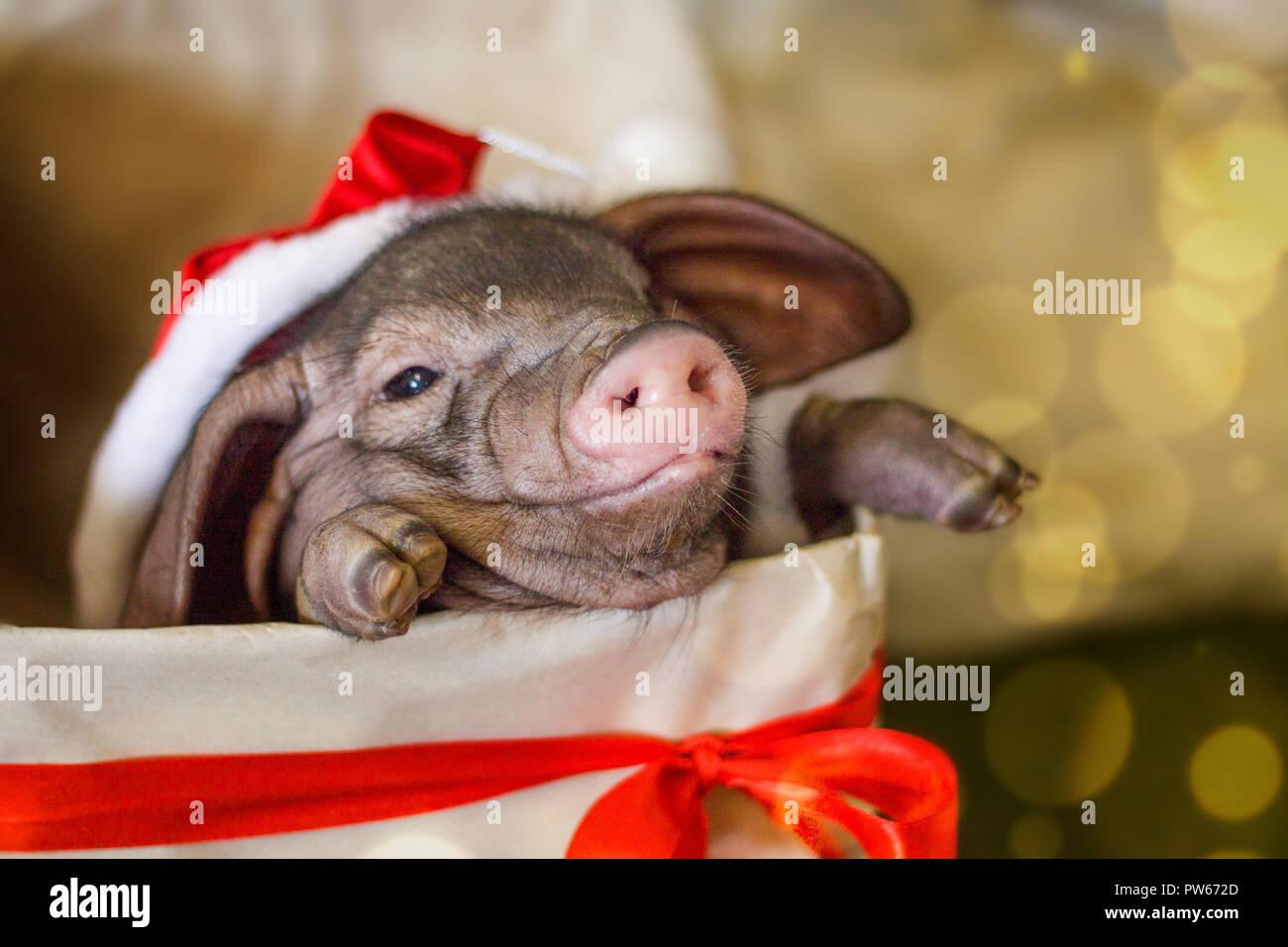 Natale e Anno Nuovo card con grazioso neonato santa suino nel dono presente casella. Decorazioni simbolo dell anno calendario cinese. l'abete sullo sfondo. Holid Immagini Stock