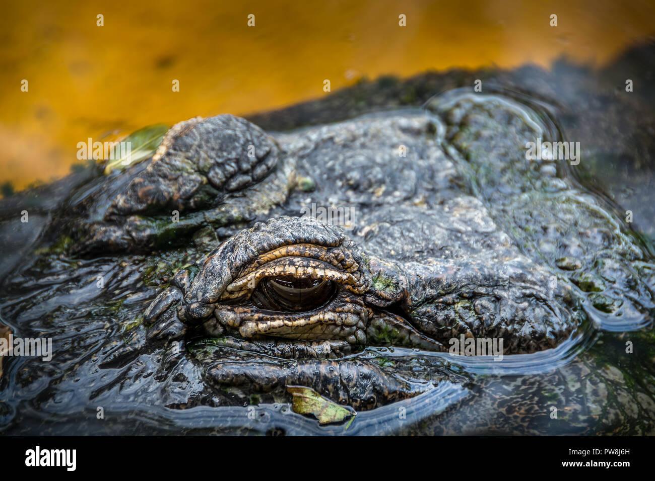Il coccodrillo dal Sawgress parco ricreativo in Everglades della Florida Immagini Stock