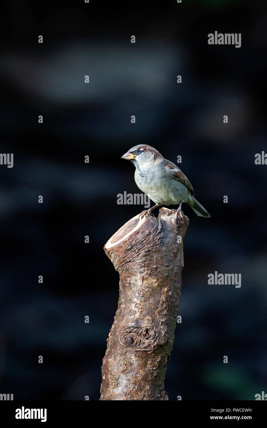 Casa passero Passer domesticus appollaiato su un segati cherry tree branch Immagini Stock