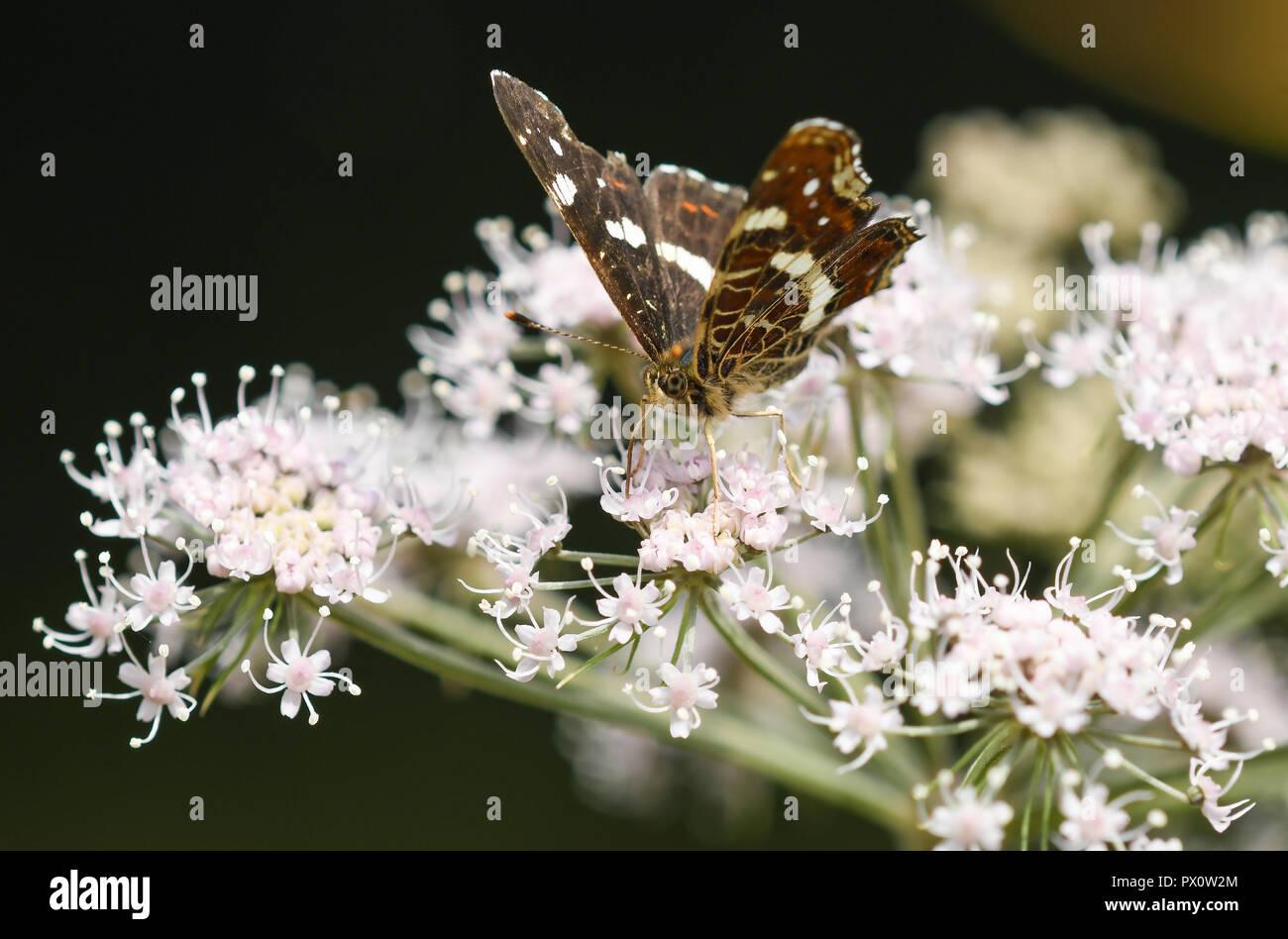 Araschnia levana es una mariposa que en la Península Ibérica sólo se encuentra en la franja Norte. Esta especie se caracteriza por su marcado dimorfis Immagini Stock