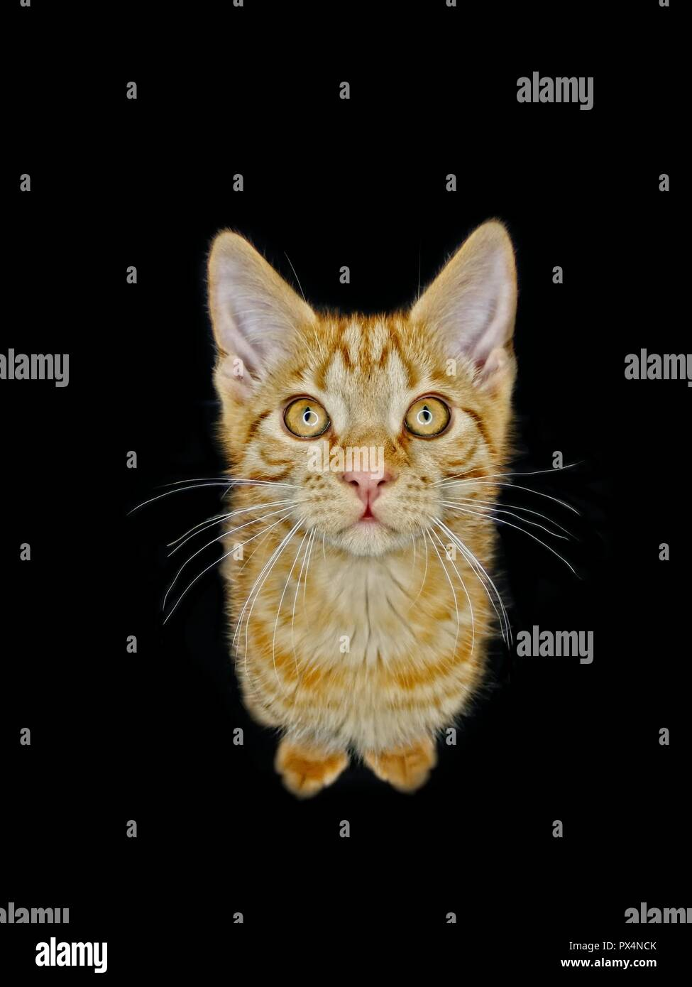 Divertente lo zenzero gattino cercando curiosi fino alla telecamera. Isolato su sfondo nero. Immagini Stock