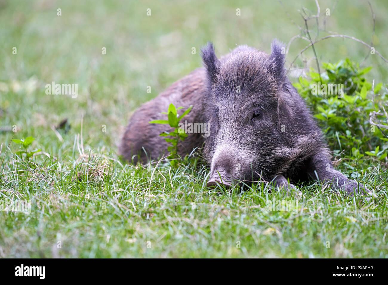 Cinghiale in appoggio sull'erba Junges Wildschwein liegt im Gras Immagini Stock