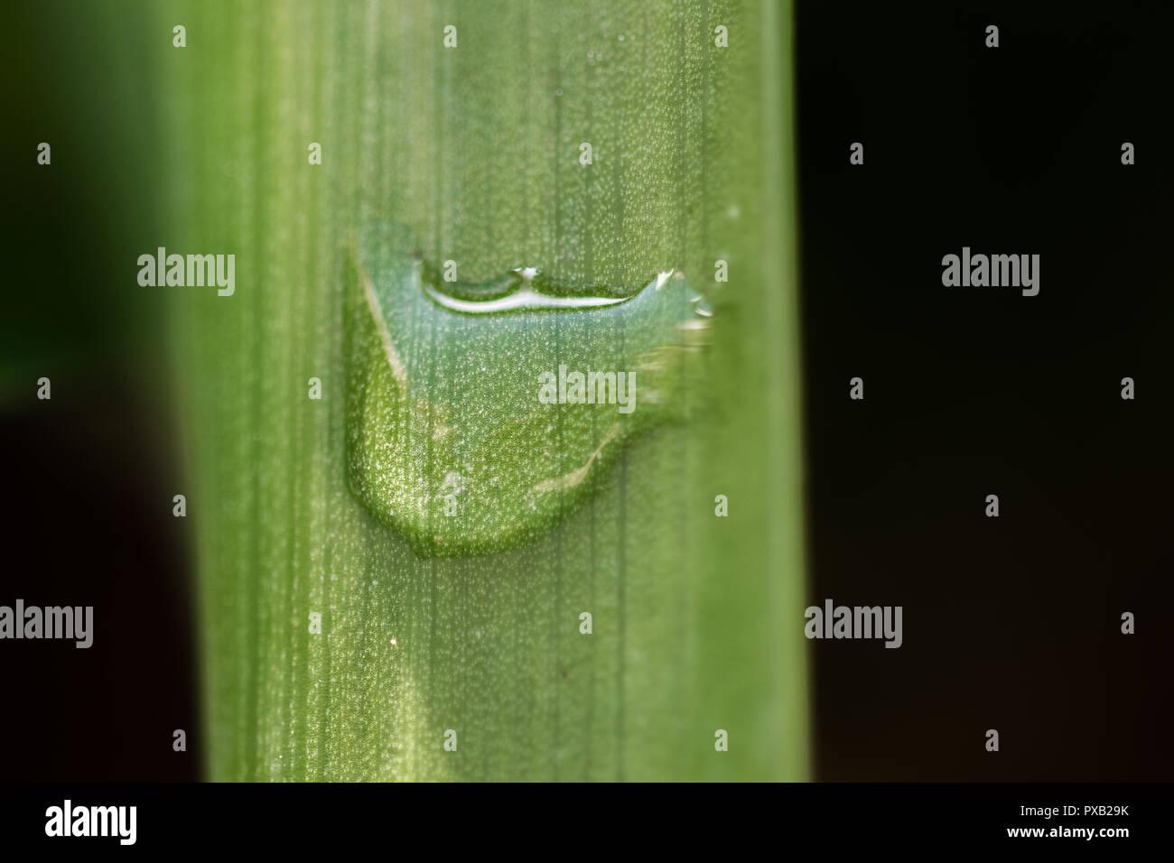 Una goccia di pioggia sul verde lasciare nel giardino a colpo molto vicino campo di ripresa macro. Dettagli e texture della foglia. copia spazio per testo. freschezza. purezza, r Immagini Stock