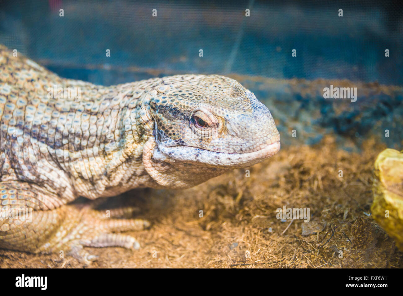 Varan close-up si trova nel giardino zoologico. Foto Stock