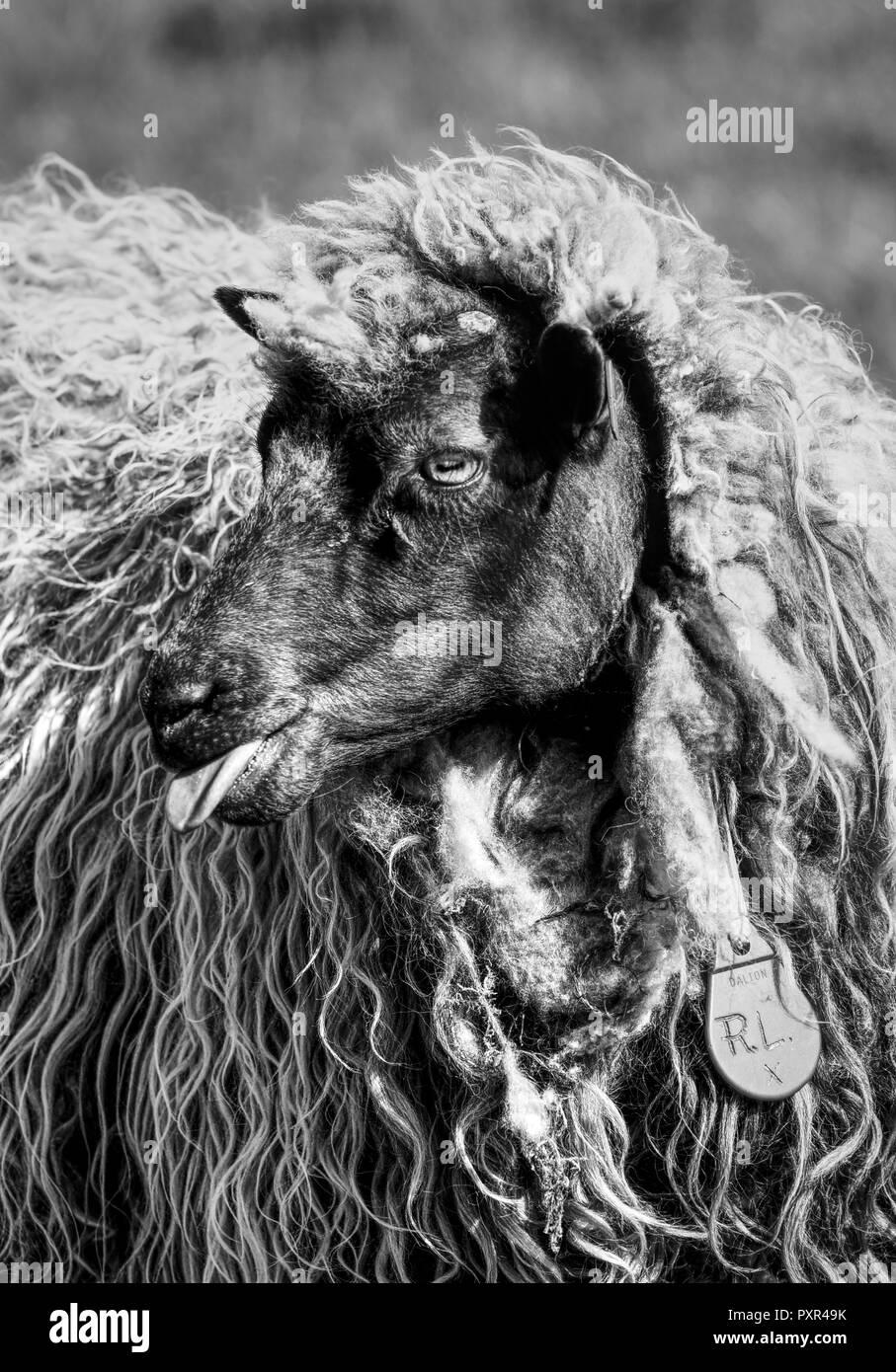 Sheepish comportamento - uno sfrontato pecora con un atteggiamento rebllious Immagini Stock