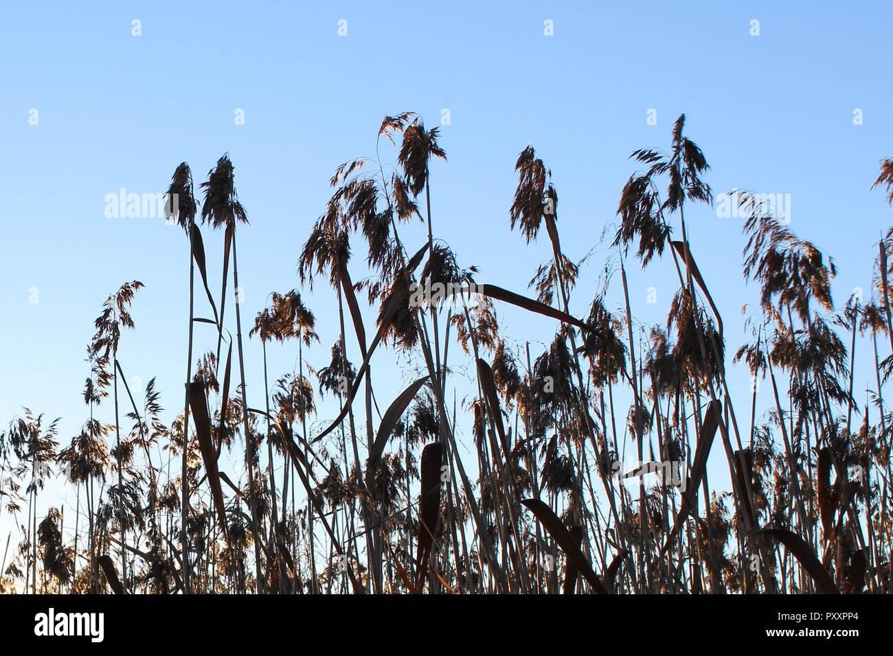 Dettaglio del pettine comune nella retroilluminazione del sole serale. Immagini Stock
