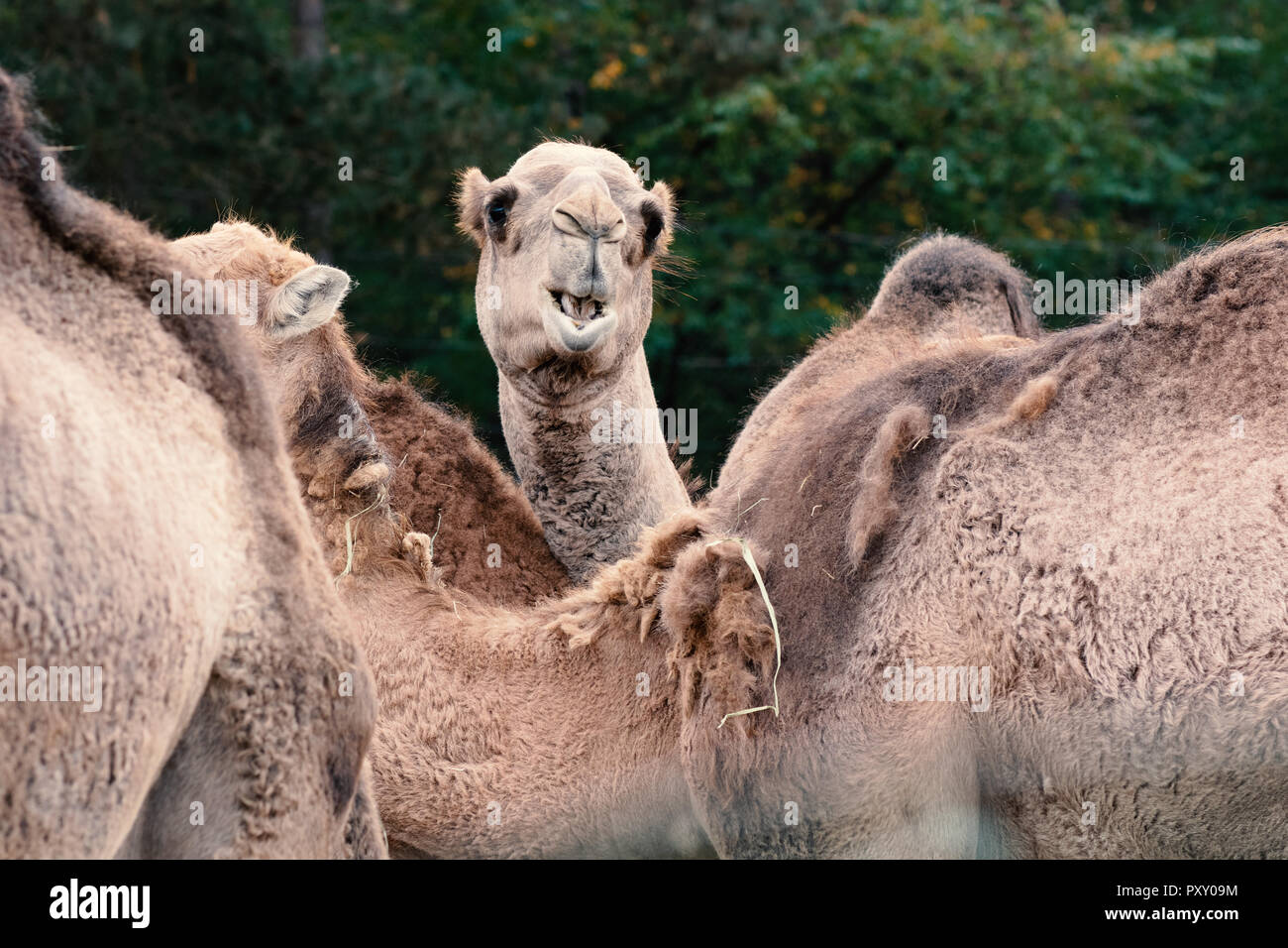 Di cammello, di cammelli in piedi nel gruppo Immagini Stock