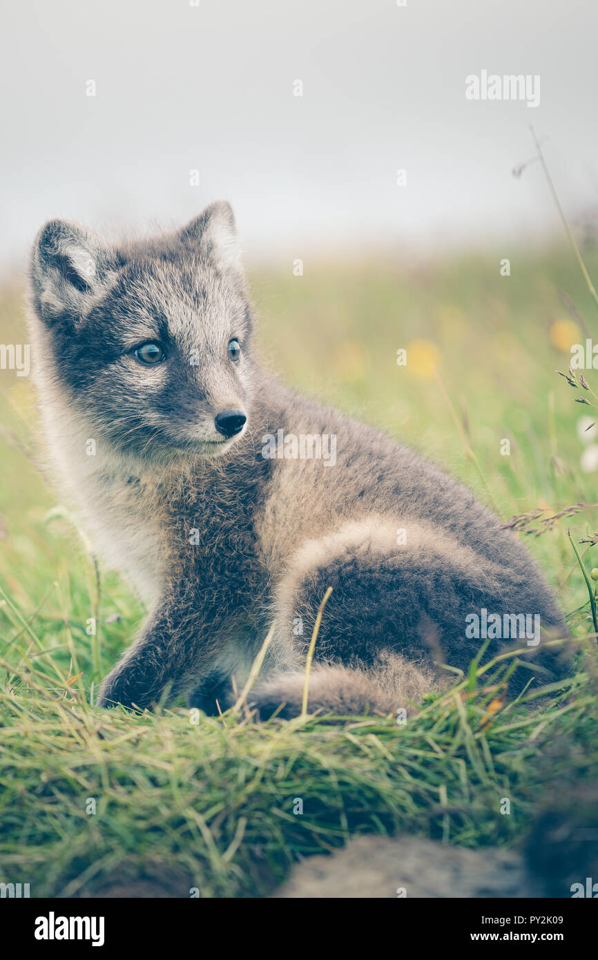 Ritratto di un giovane giocoso Arctic Fox cub in Islanda, estate Immagini Stock