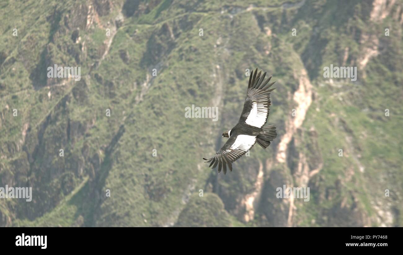 Condor em seu voo sobre o valle del Colca Immagini Stock