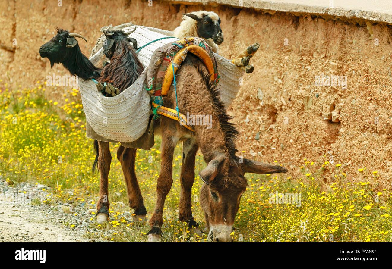 Il Marocco asino sul ciglio della strada con il suo carico di ovini e caprini in gerle sulla sua schiena Immagini Stock