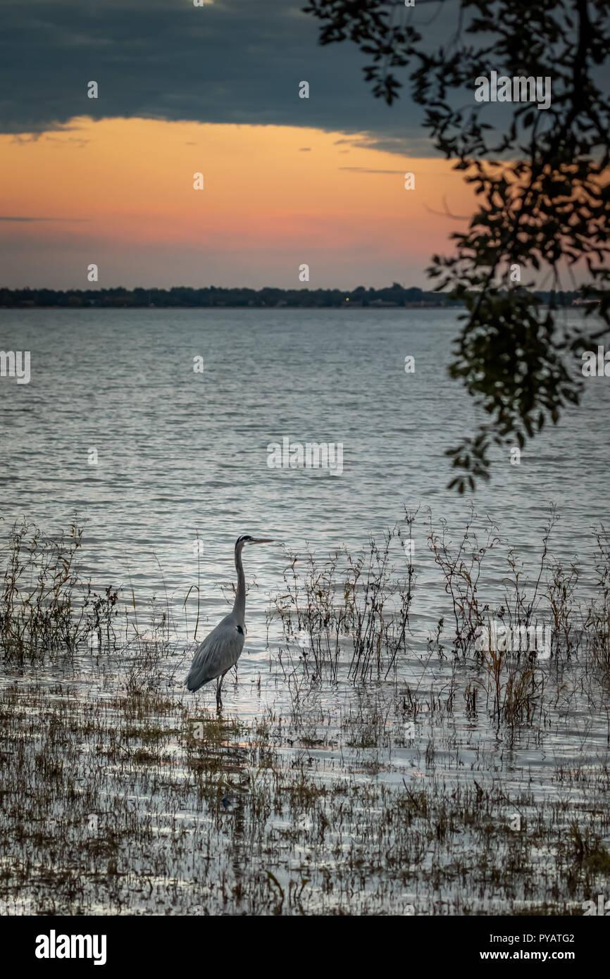 Airone blu (Ardea erodiade) su un lungolago al tramonto Immagini Stock