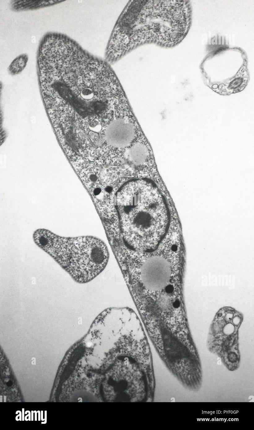 Microscopia elettronica di Trypanosome Immagini Stock