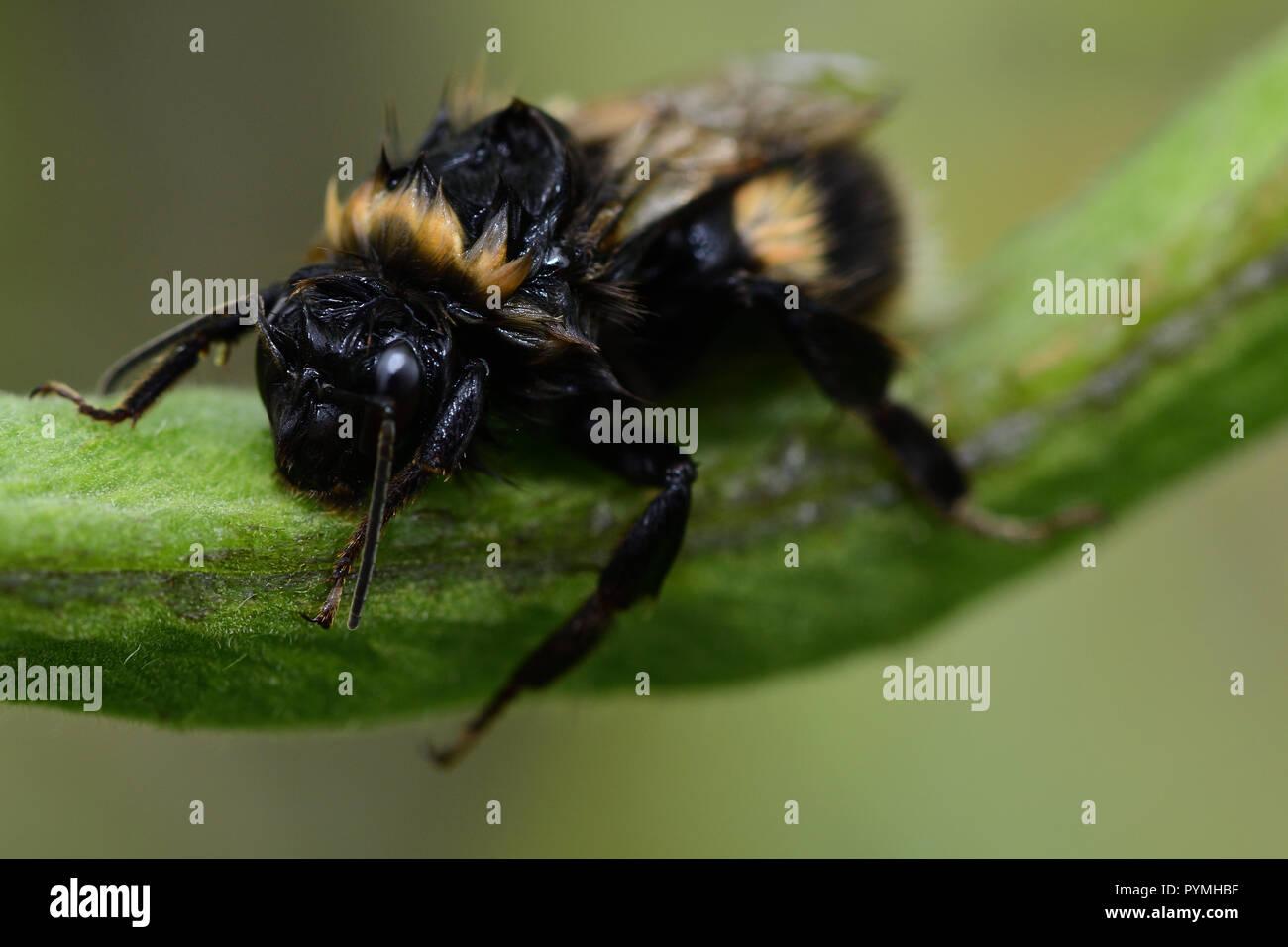 Ripresa macro di un umido Bumble Bee salendo su un runner Baccello di fagiolo Immagini Stock