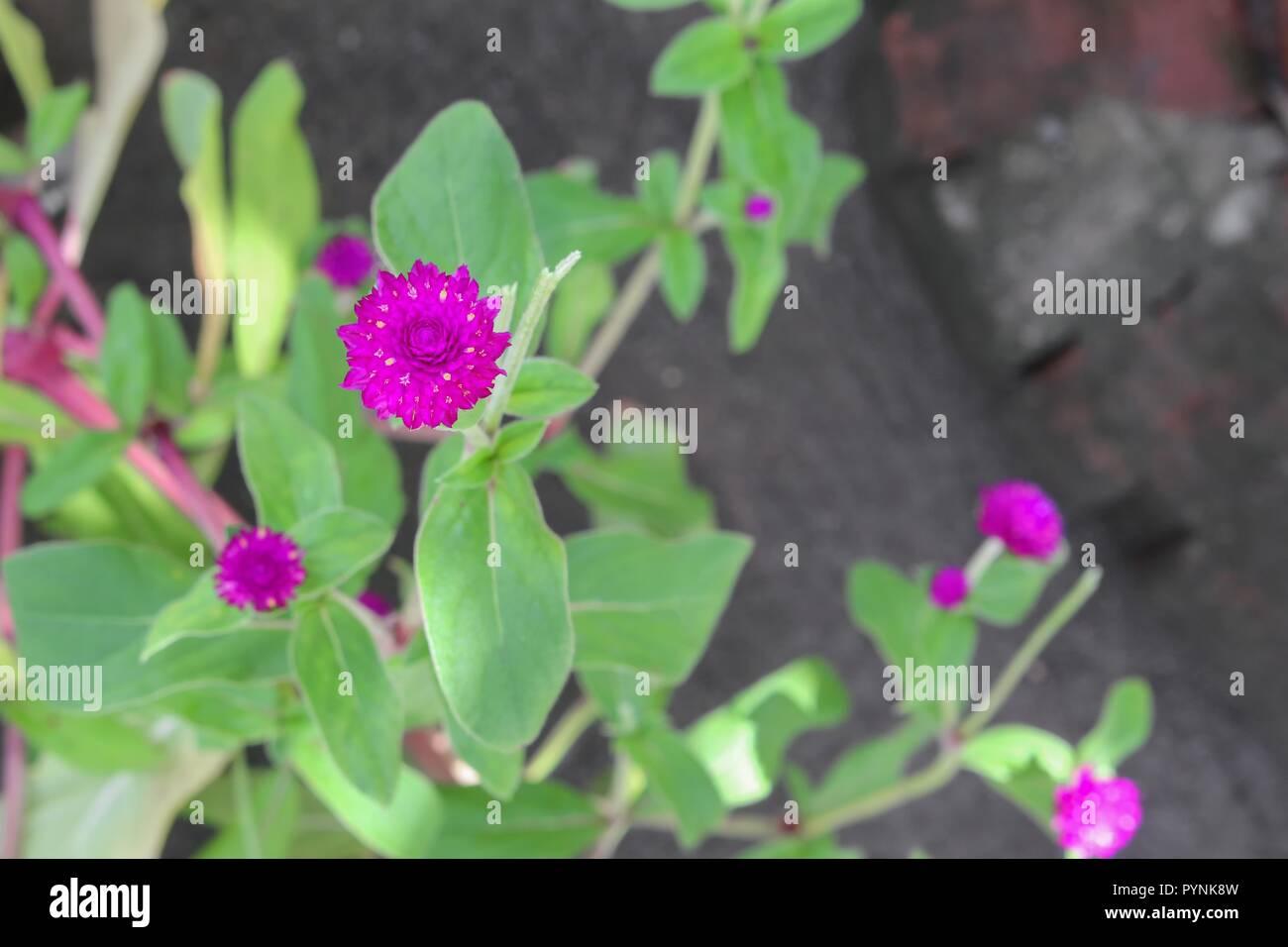Amaranto a globo o Gomphrena globosa fiore in giardino Immagini Stock