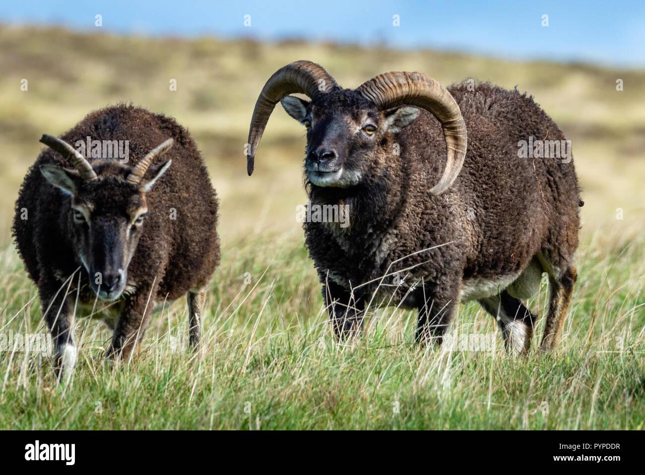 Pecore Soay ram seguenti pecora su Lundy Island al largo della costa del North Devon Immagini Stock