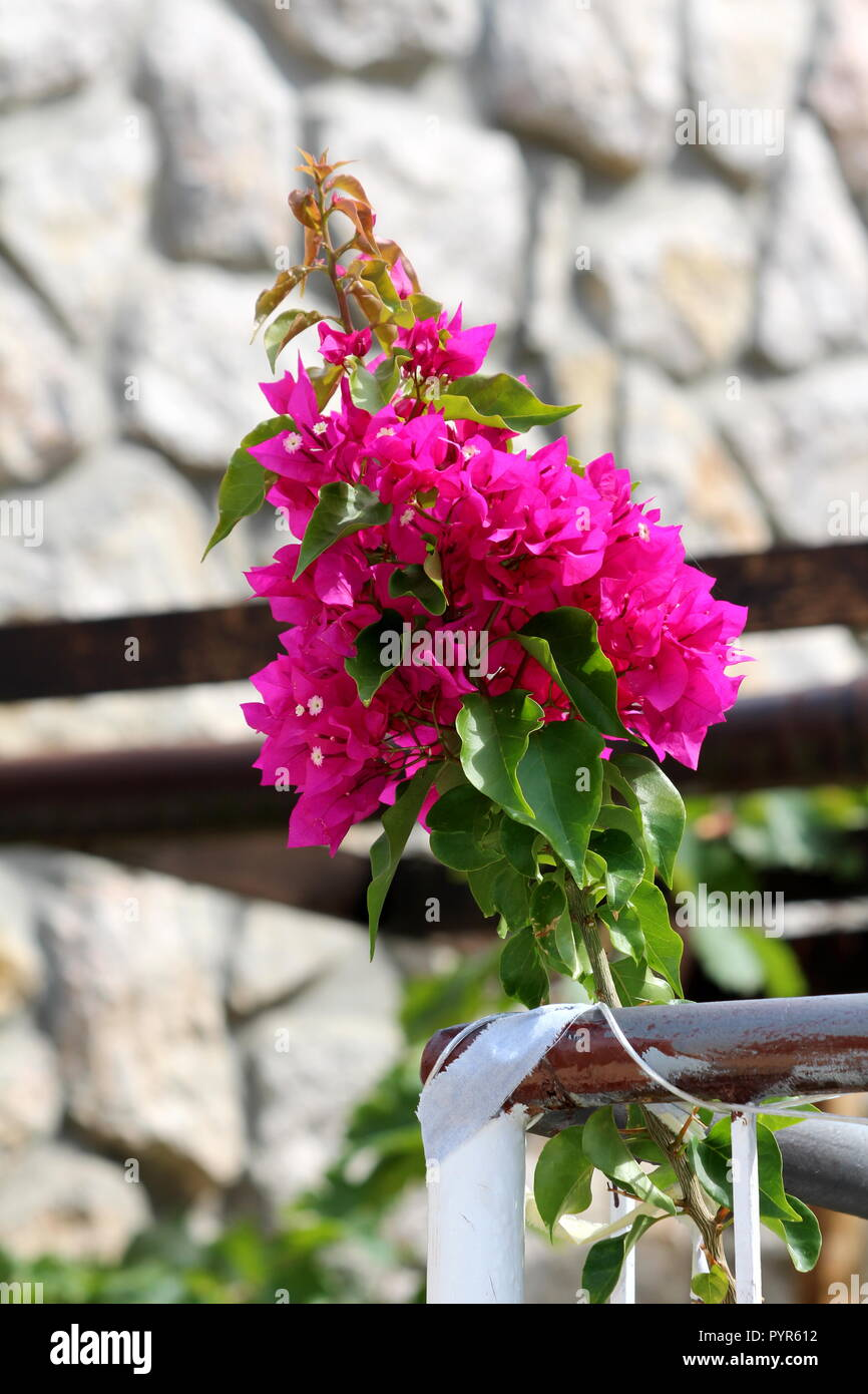 Il Bougainvillea Hardy Vine Pianta Con Brattee Rosa Attorno A