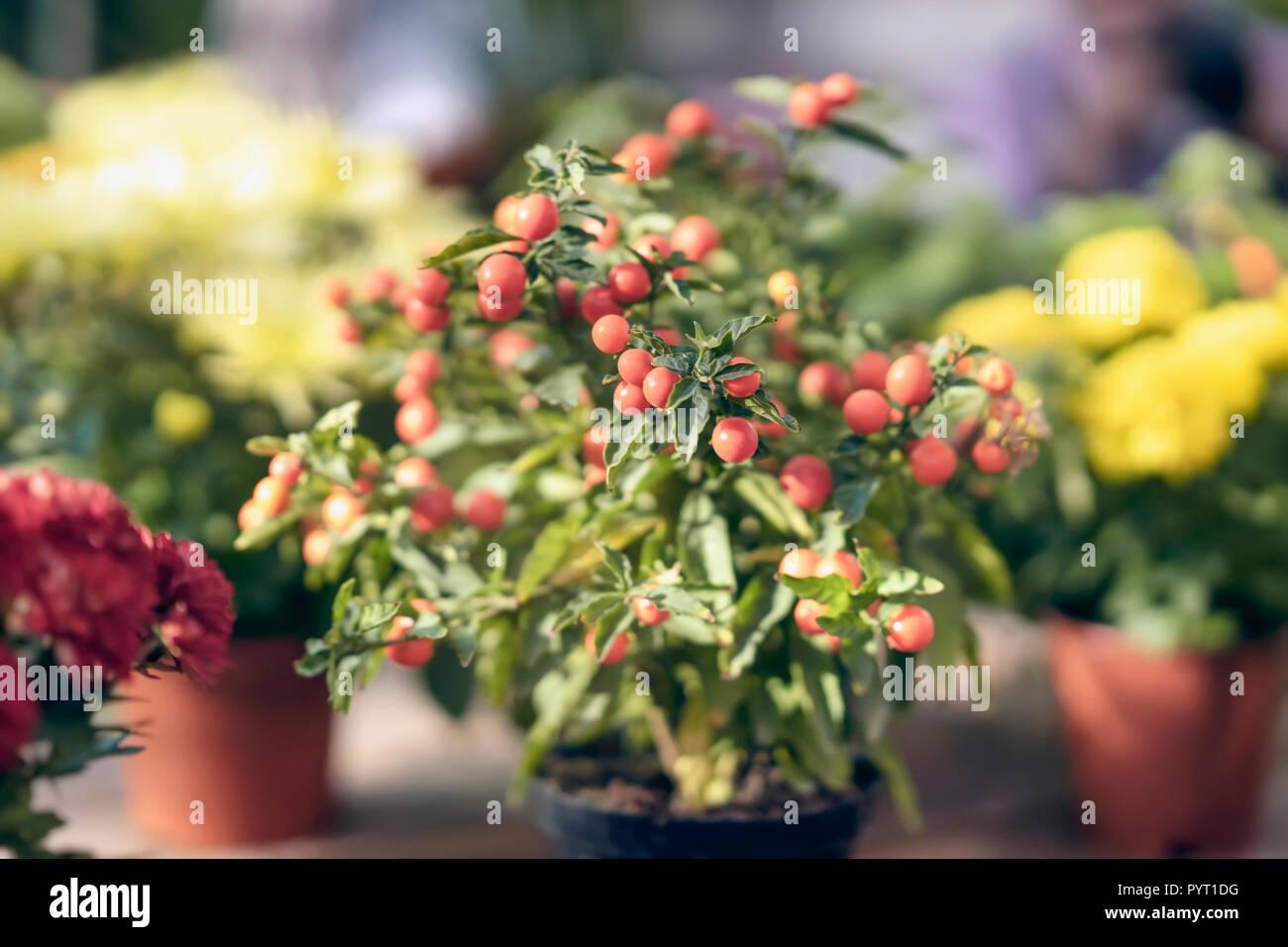 Pianta Ornamentale Con Bacche Rosse ripe rosse bacche mature di nightshade in un vaso di fiori