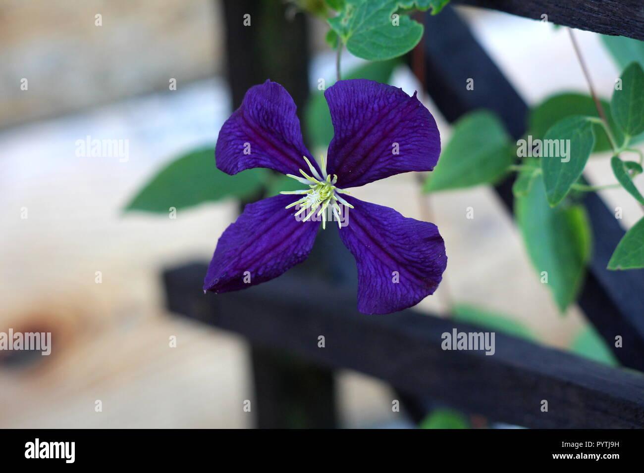 Fiori Gialli Con Quattro Petali.La Clematide Easy Care Perenne Vine Fiore Con Quattro Blu Scuro A