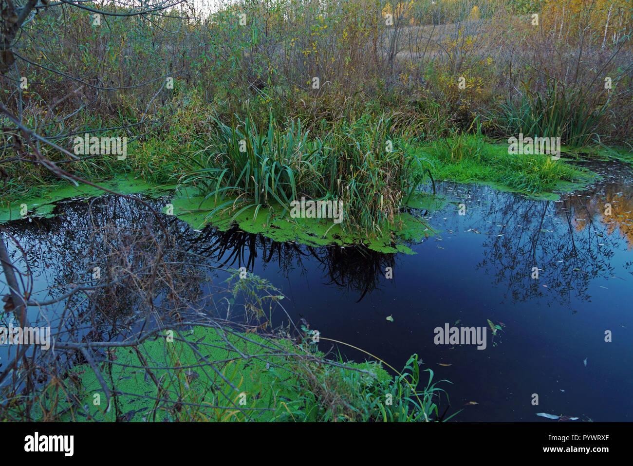 Bella estate paesaggio forestale con marsh, ricoperta con canne e lenticchie d'acqua Foto Stock