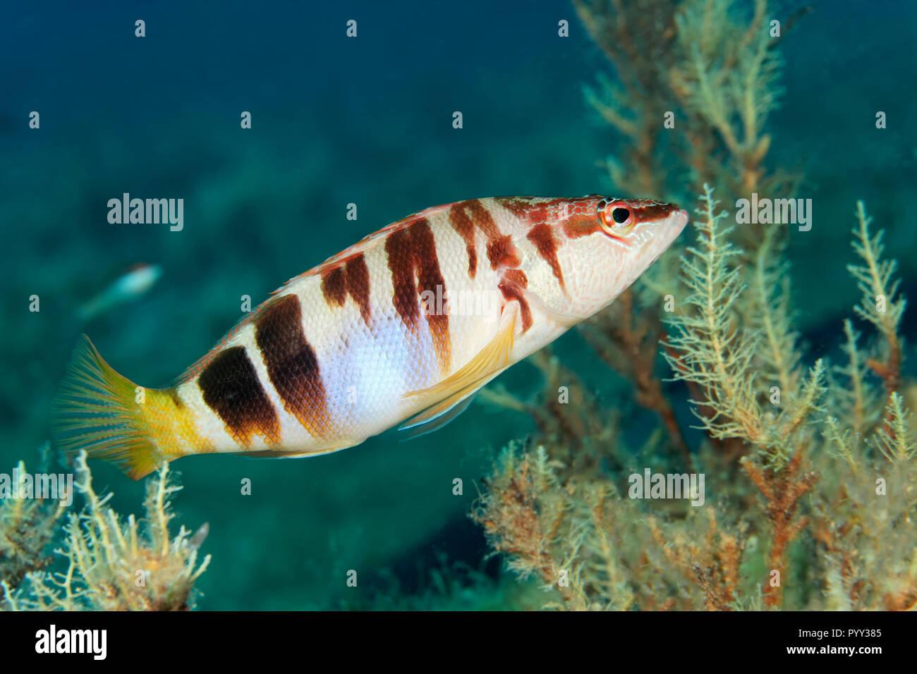 Dipinto dalla pettinatrice (Serranus scriba), mare Mediterraneo, Cipro del Sud, Cipro Immagini Stock