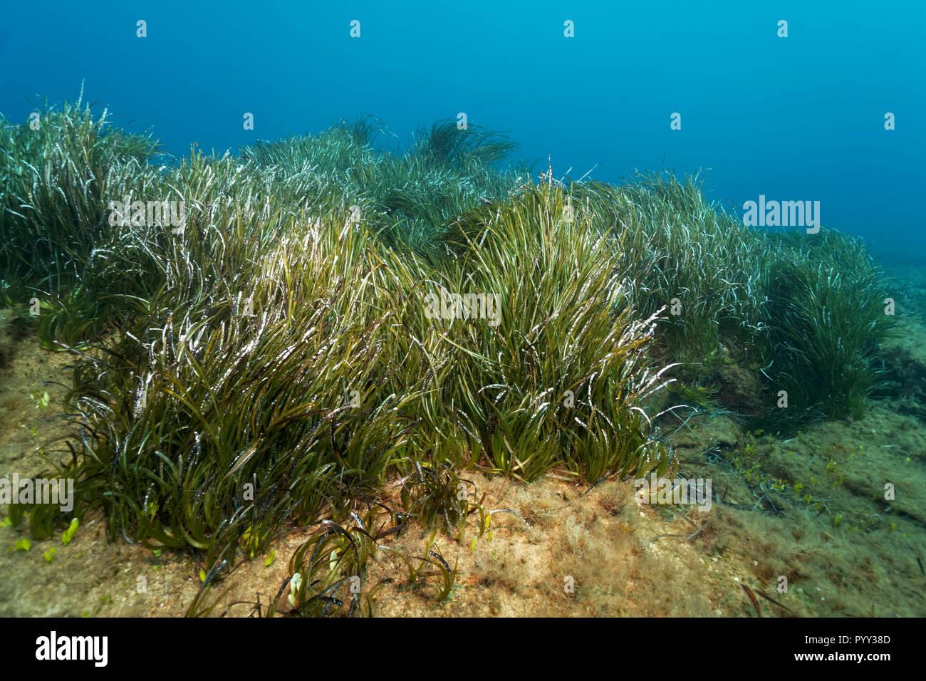 Nettuno erba (Posidonia oceanica), mare Mediterraneo, Cipro del Sud, Cipro Immagini Stock
