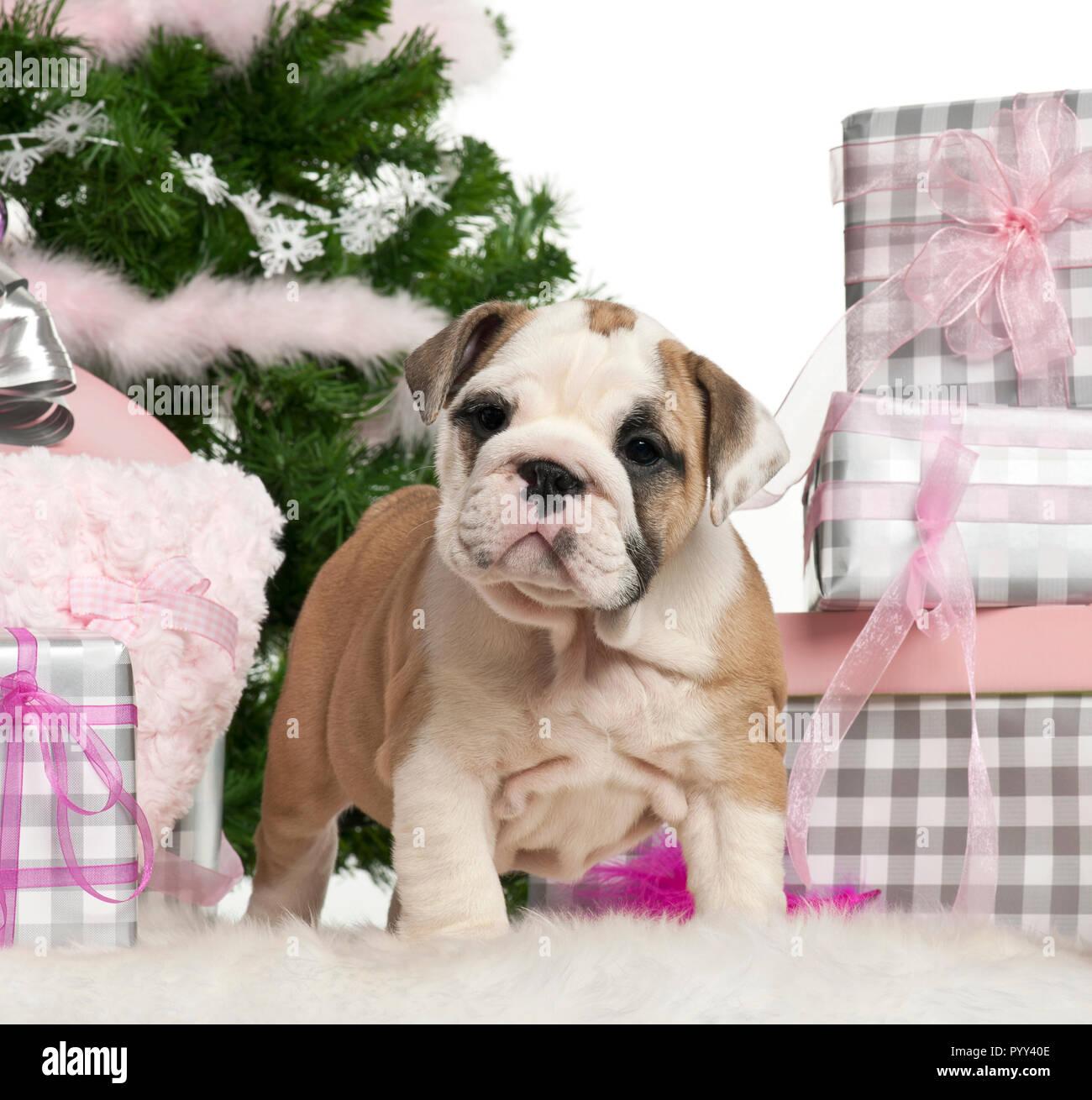 Regali Di Natale Inglese.Bulldog Inglese Cucciolo 2 Mesi Di Eta Con I Regali Di