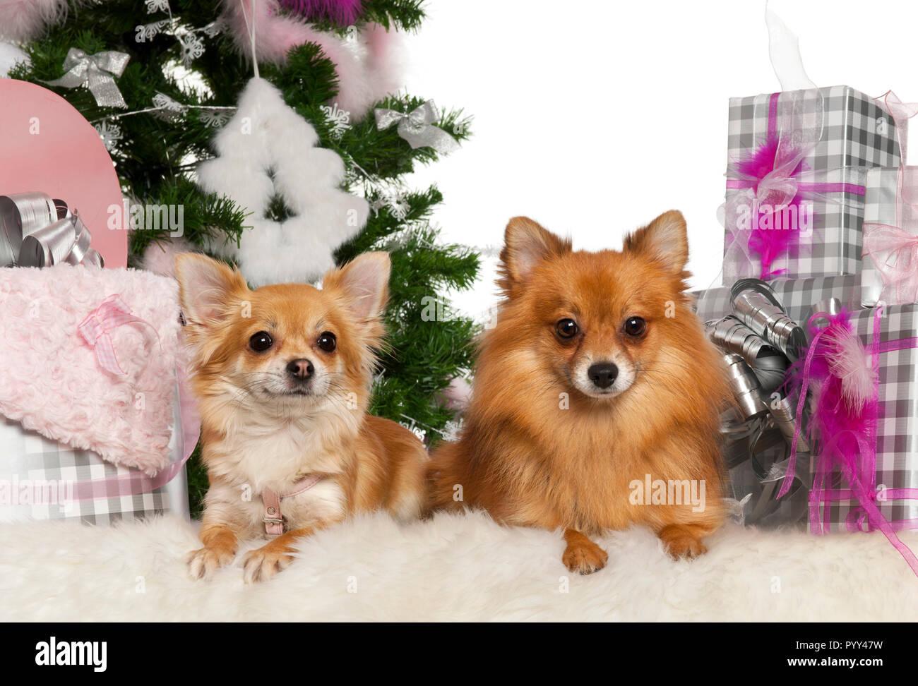Regali Di Natale 3 Anni.Chihuahua 3 Anni Con Pomerania 2 Anni Con Albero Di Natale E