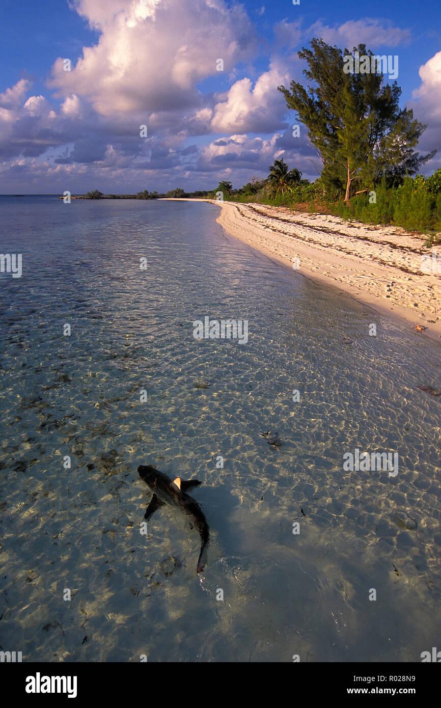 Lo squalo Blacktip, Carcharhinus limbatus, Bahamas, Oceano Atlantico Foto Stock