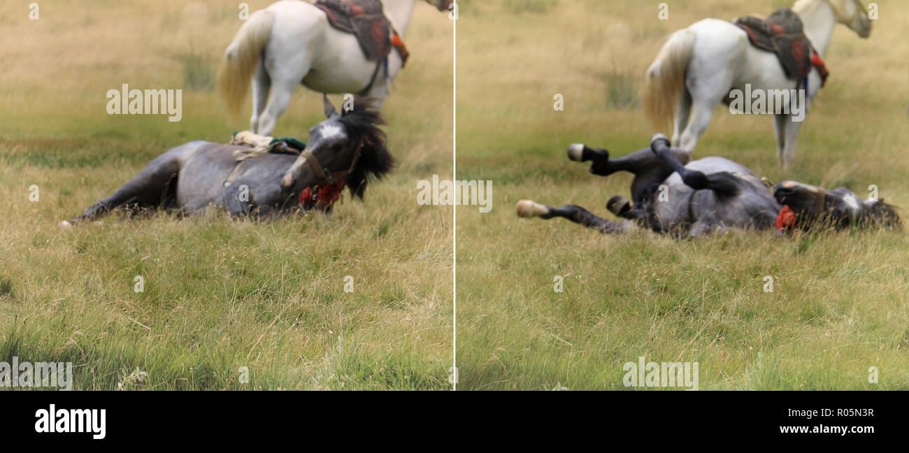Scena onirica di un cavallo nero a rotolare in erba e un cavallo bianco in piedi dietro, intenzionalmente fuori fuoco. Immagini Stock