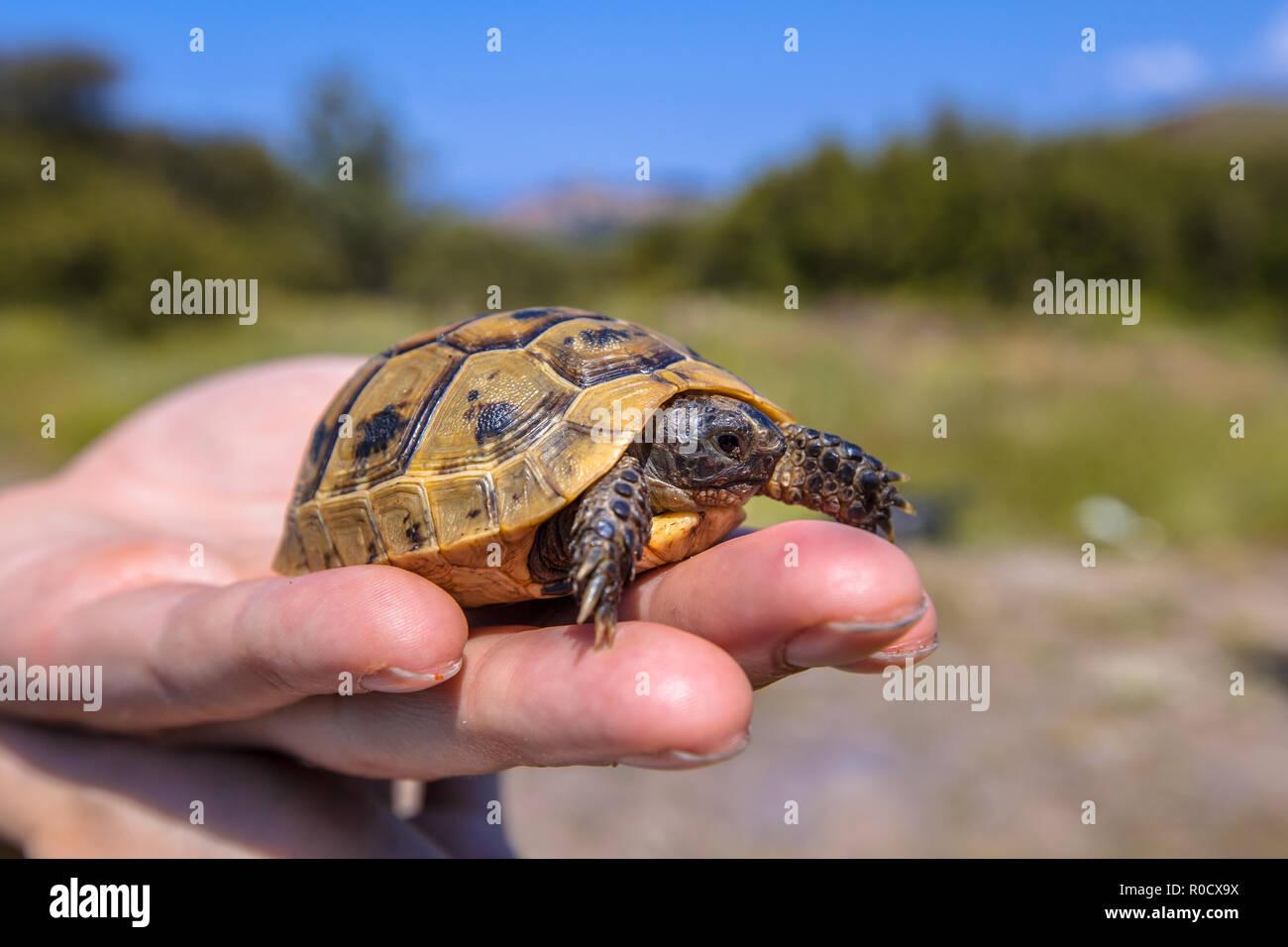 I capretti sperone-thighed tortoise o tartaruga greca (Testudo graeca) sollevato sulla mano di un ricercatore herpetologist Immagini Stock