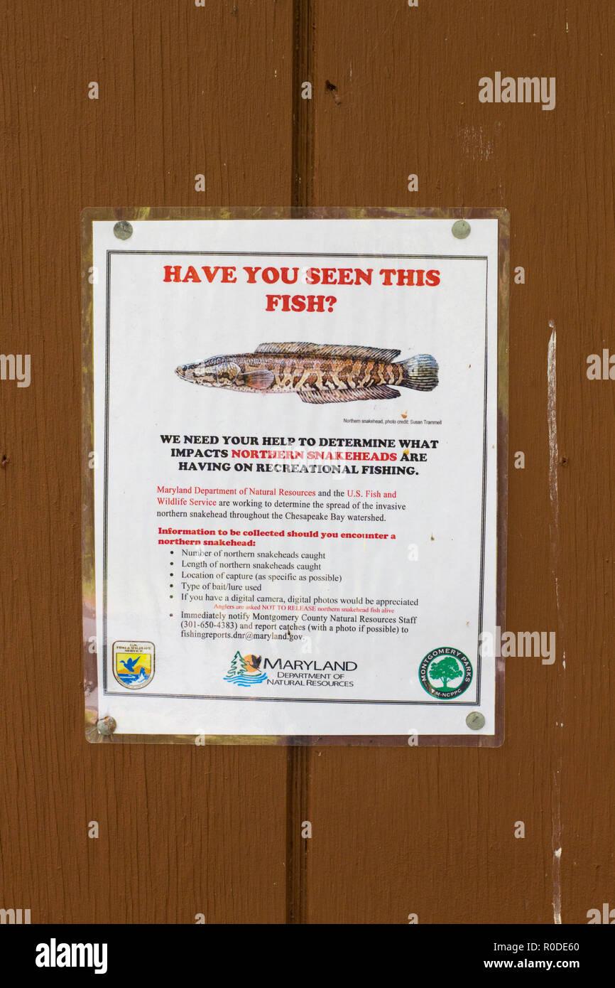 Specie invasive poster per Northern Snakehead fish (Channa argus) inviato da Maryland dipartimento di Risorse Naturali, Maryland, Stati Uniti Immagini Stock