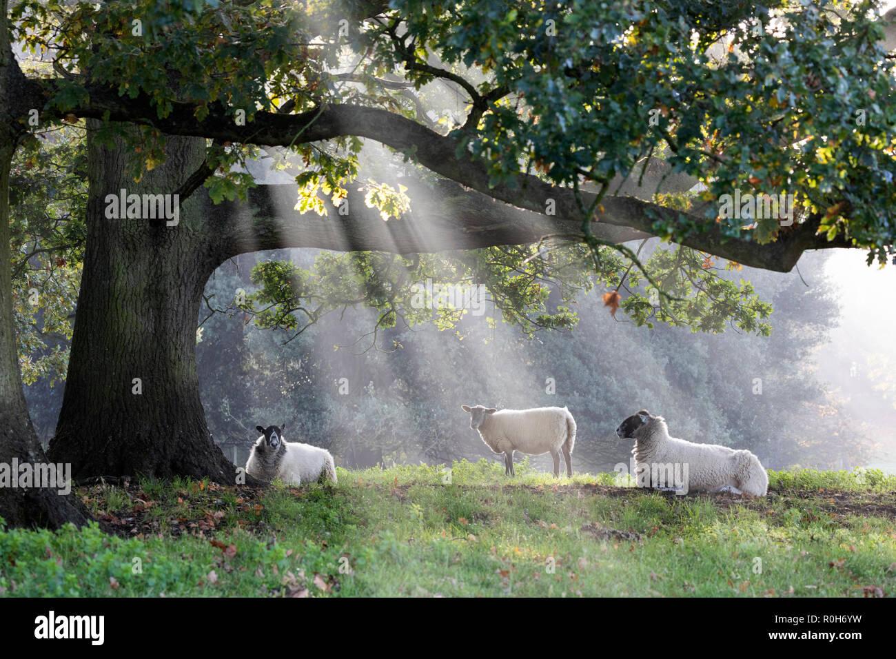 Pecore bianche sotto agli alberi con alberi di luce solare misty, Chipping Campden, Cotswolds, Gloucestershire, England, Regno Unito, Europa Immagini Stock
