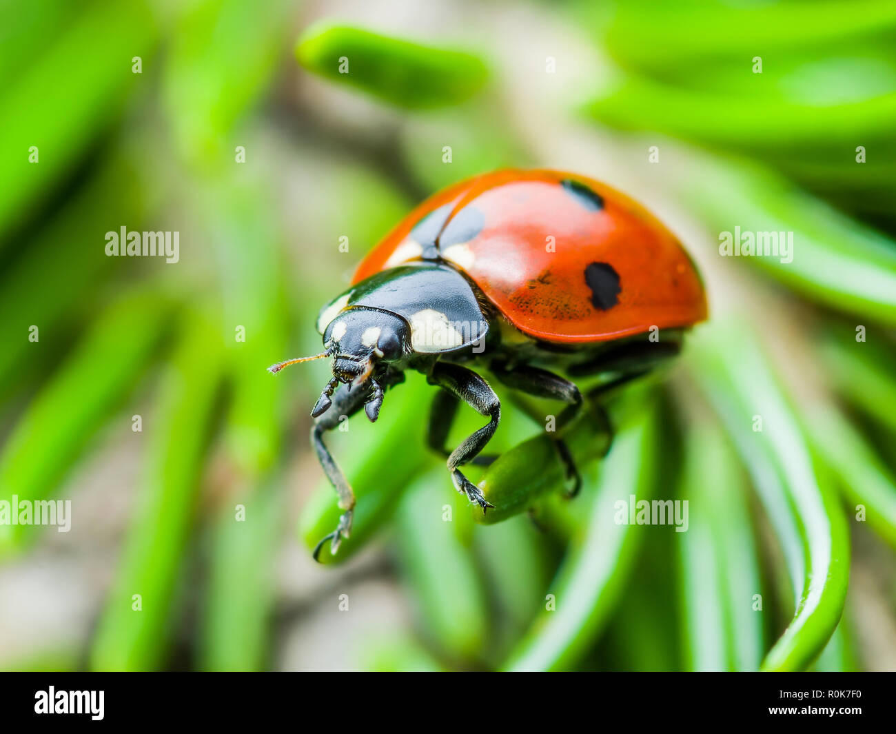 Coccinella insetto strisciando sul verde abete Macro Immagini Stock