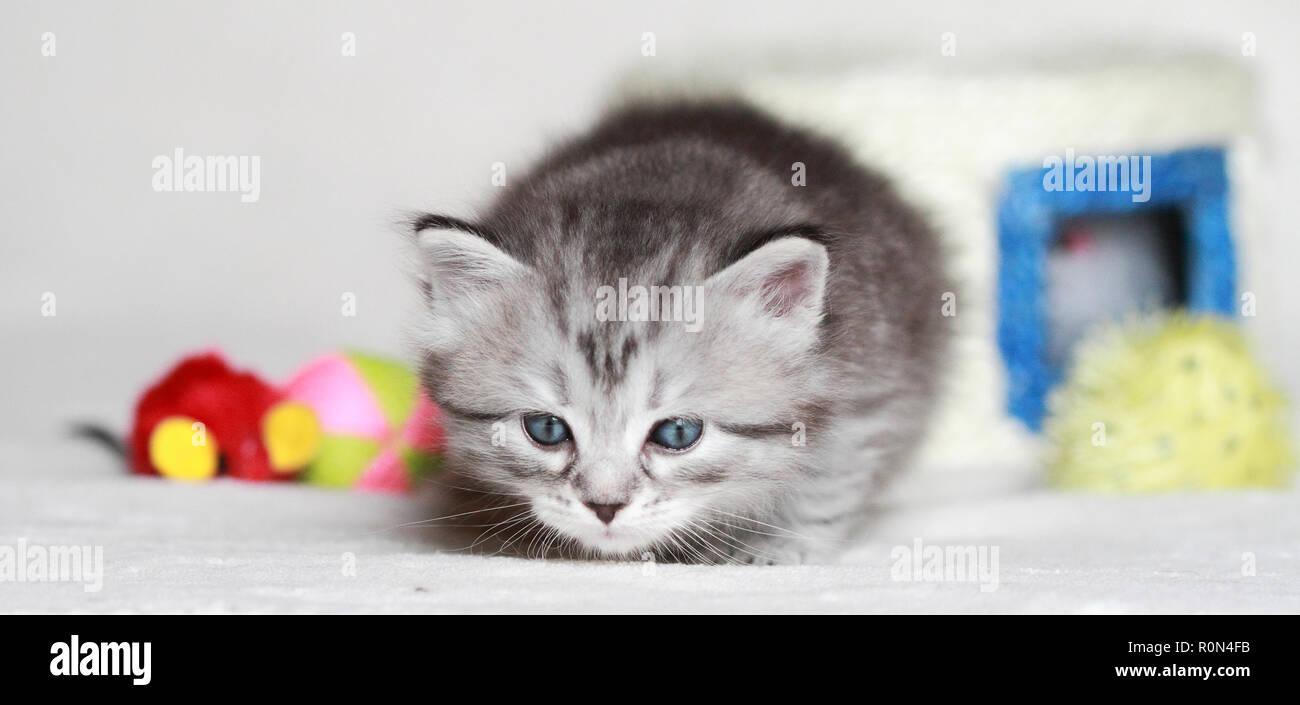 Adorabile cucciolo di gatto di razza Siberiana sulla neve, di razza Siberiana Immagini Stock