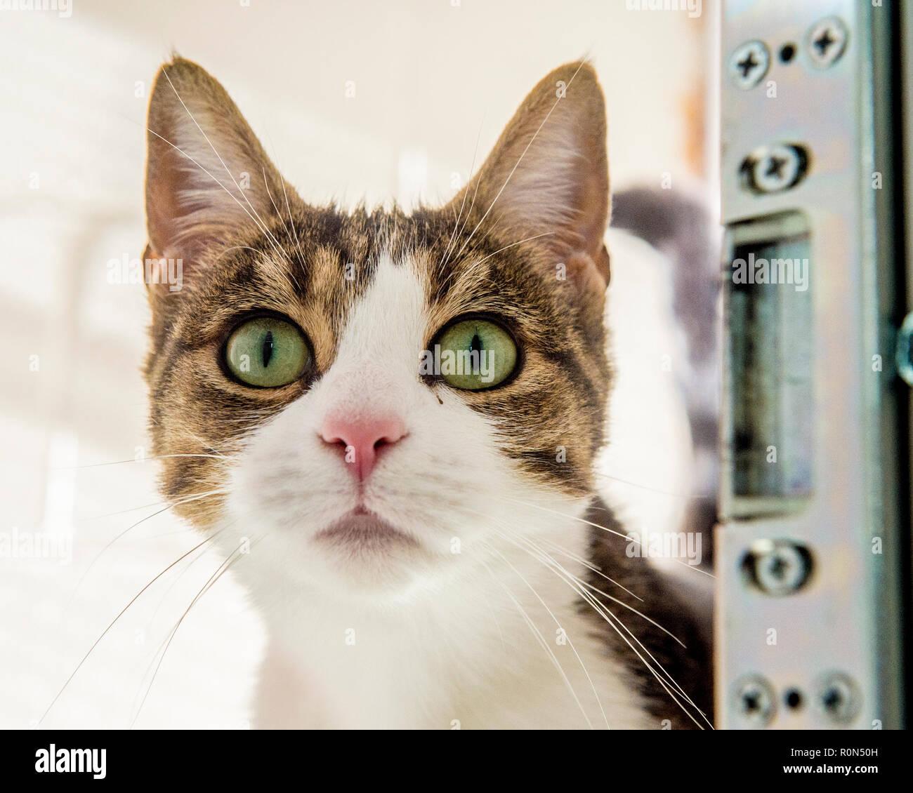 Tabby e White cat Immagini Stock