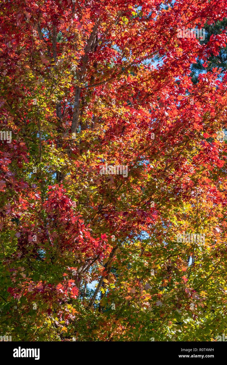 Colorate lascia cadere su un grande albero di acero nella metropolitana di Atlanta, Georgia. (USA) Foto Stock