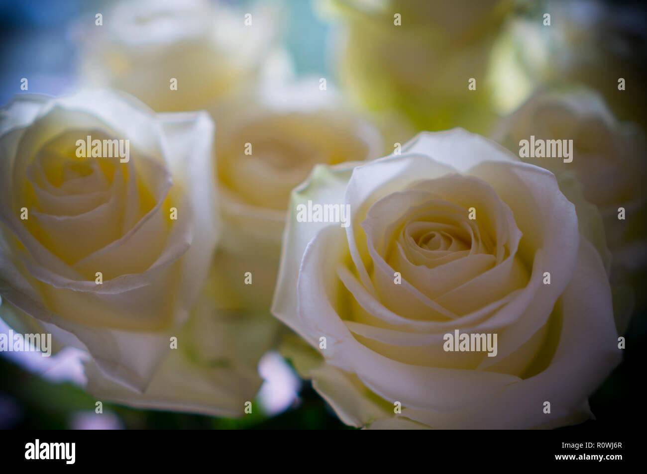 Con profonda simpatia, rose bianche Immagini Stock