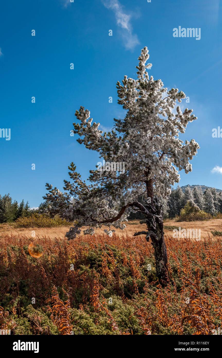Il tardo autunno primo gelo invernale in alta montagna - un paesaggio fantastico sotto il cielo blu e la misteriosa nebbia Foto Stock