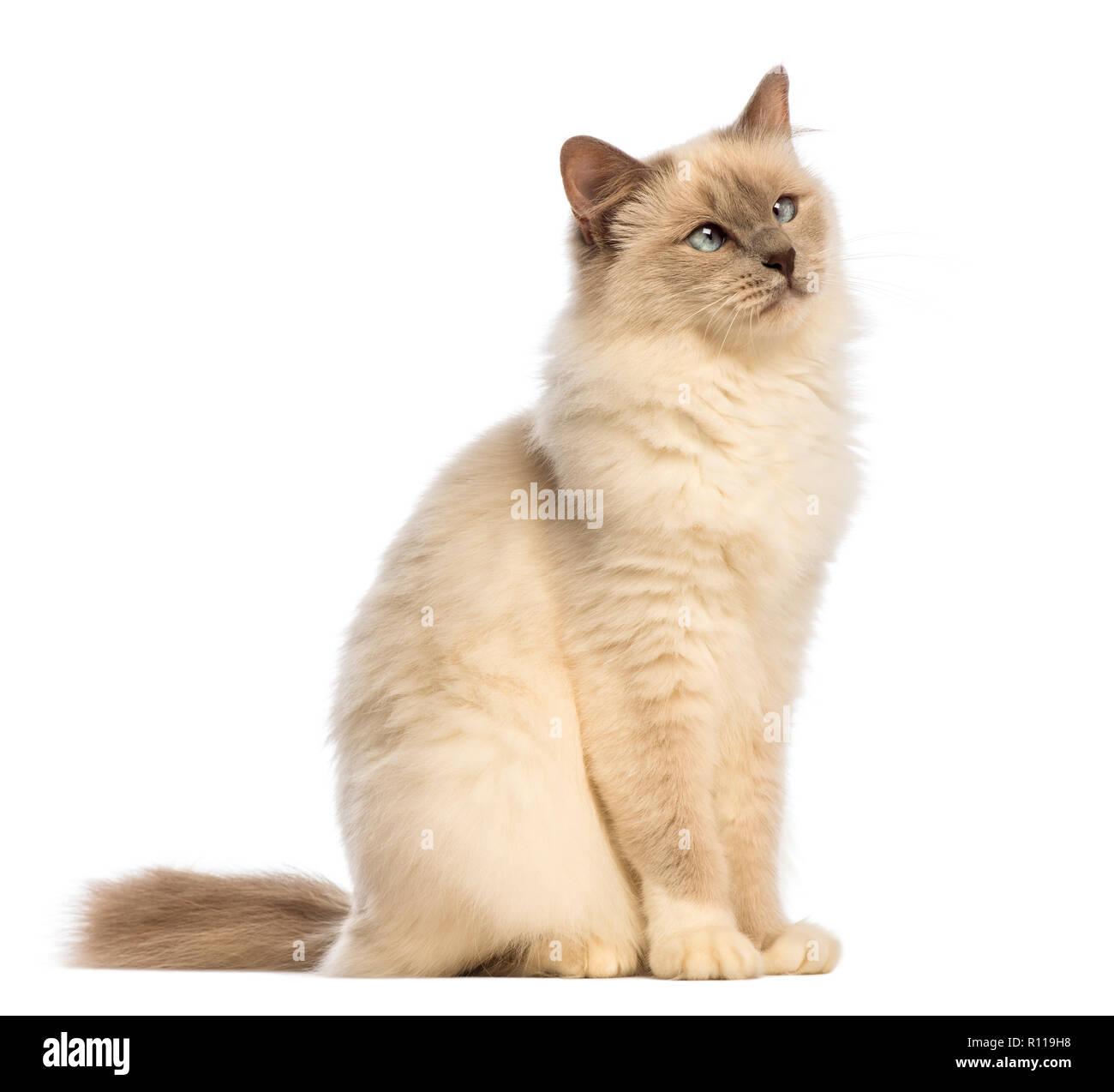 Birman seduto e guardando in alto, attraversato-occhi contro uno sfondo bianco Immagini Stock
