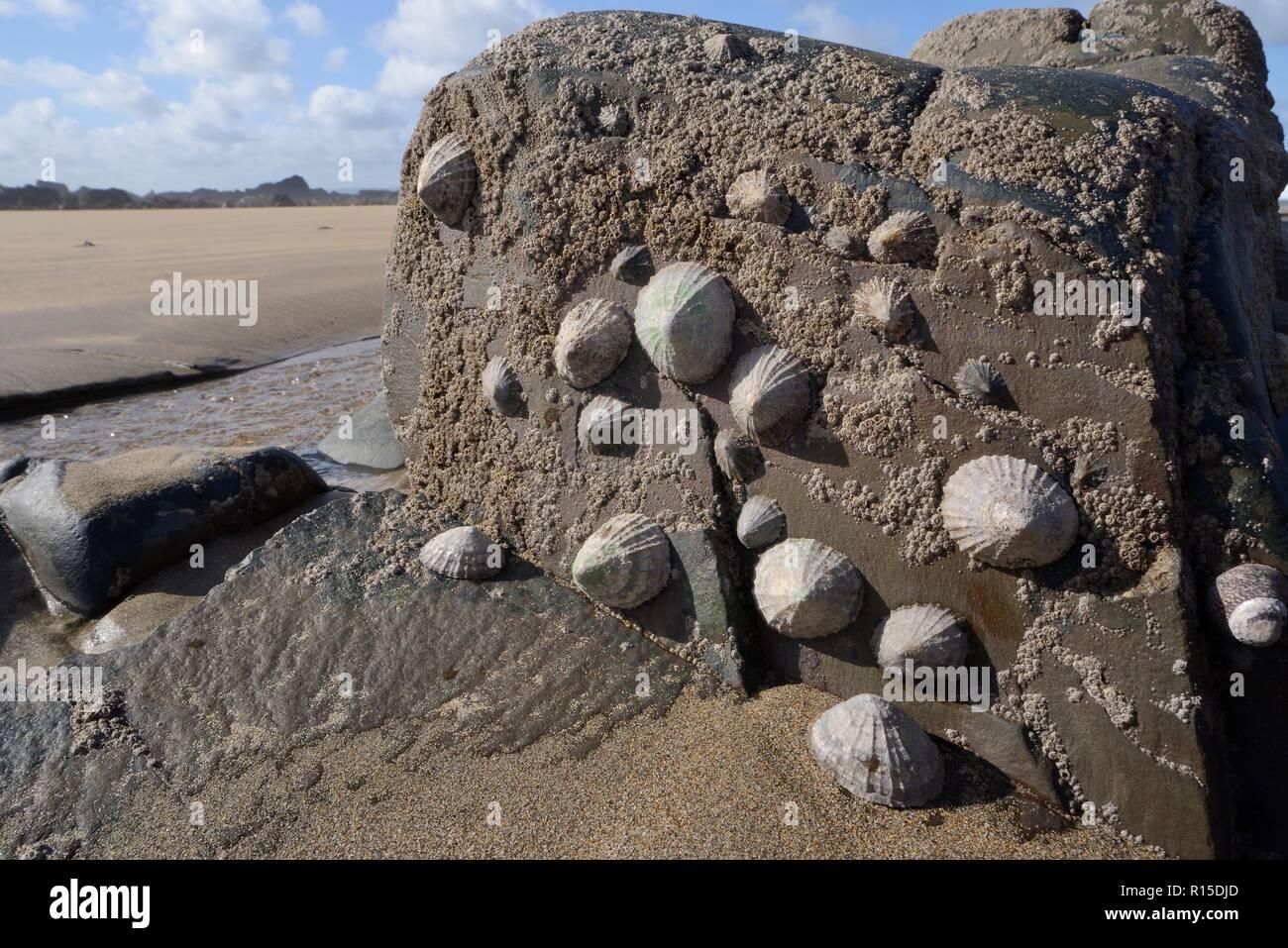 Le patelle comune (Patella vulgata) e Acorn barnacles (Semibalanus balanoides) attaccato alle rocce intercotidali, esposta mediante una marea calante, Cornwall, Regno Unito Foto Stock