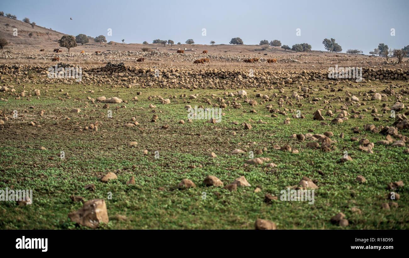 Alture del Golan vacche Immagini Stock