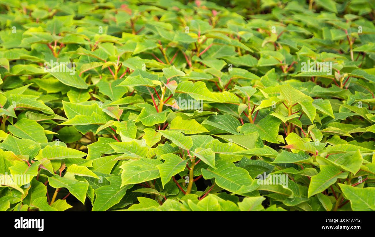 Piccole piante di poinsettia o stella di Natale flower.Euphorbia pulcherrima è un famoso giardino impianto associato con festività invernali Foto Stock