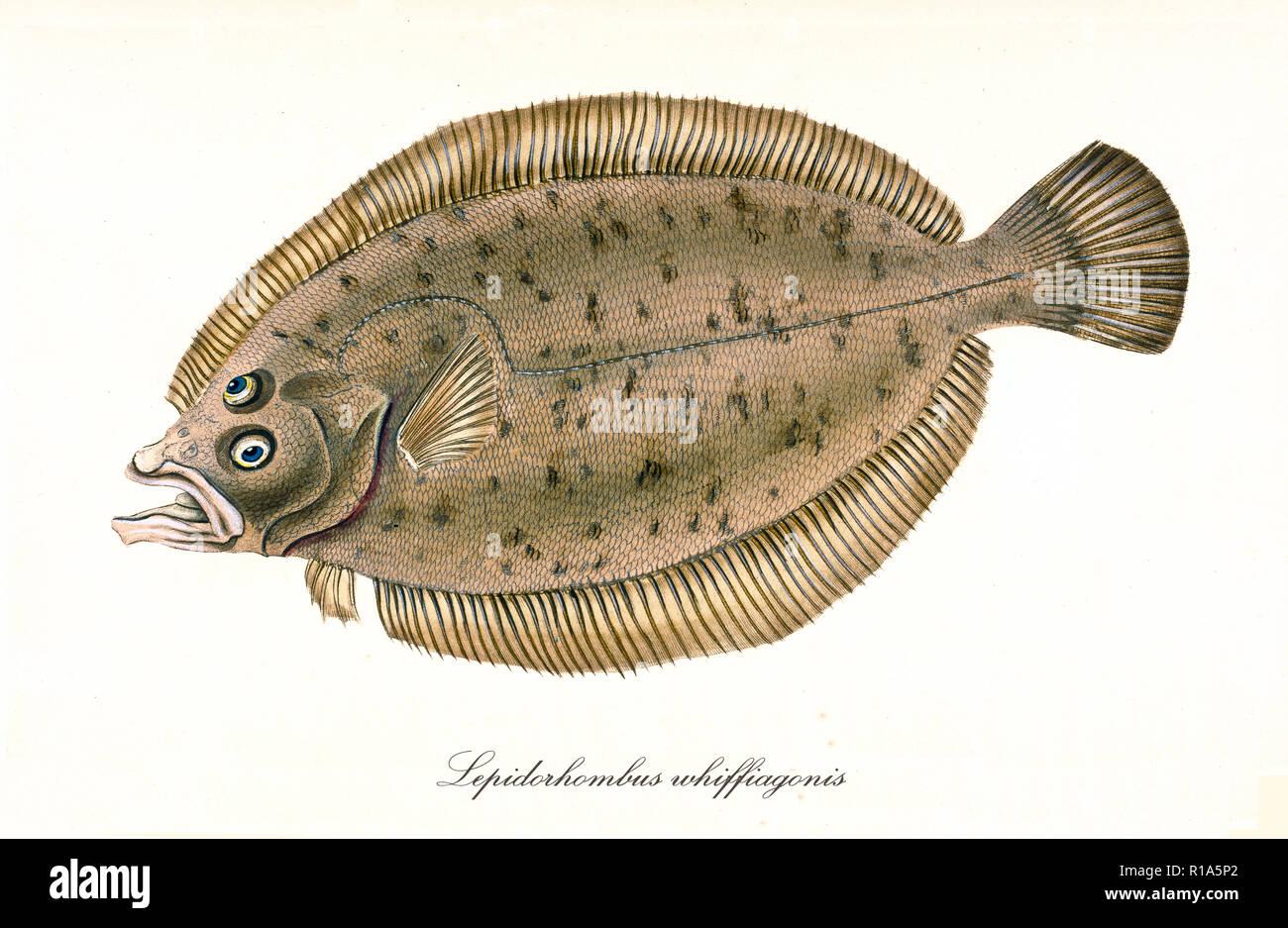 Antica Illustrazione Colorata Del Rombo Giallo Lepidorhombus
