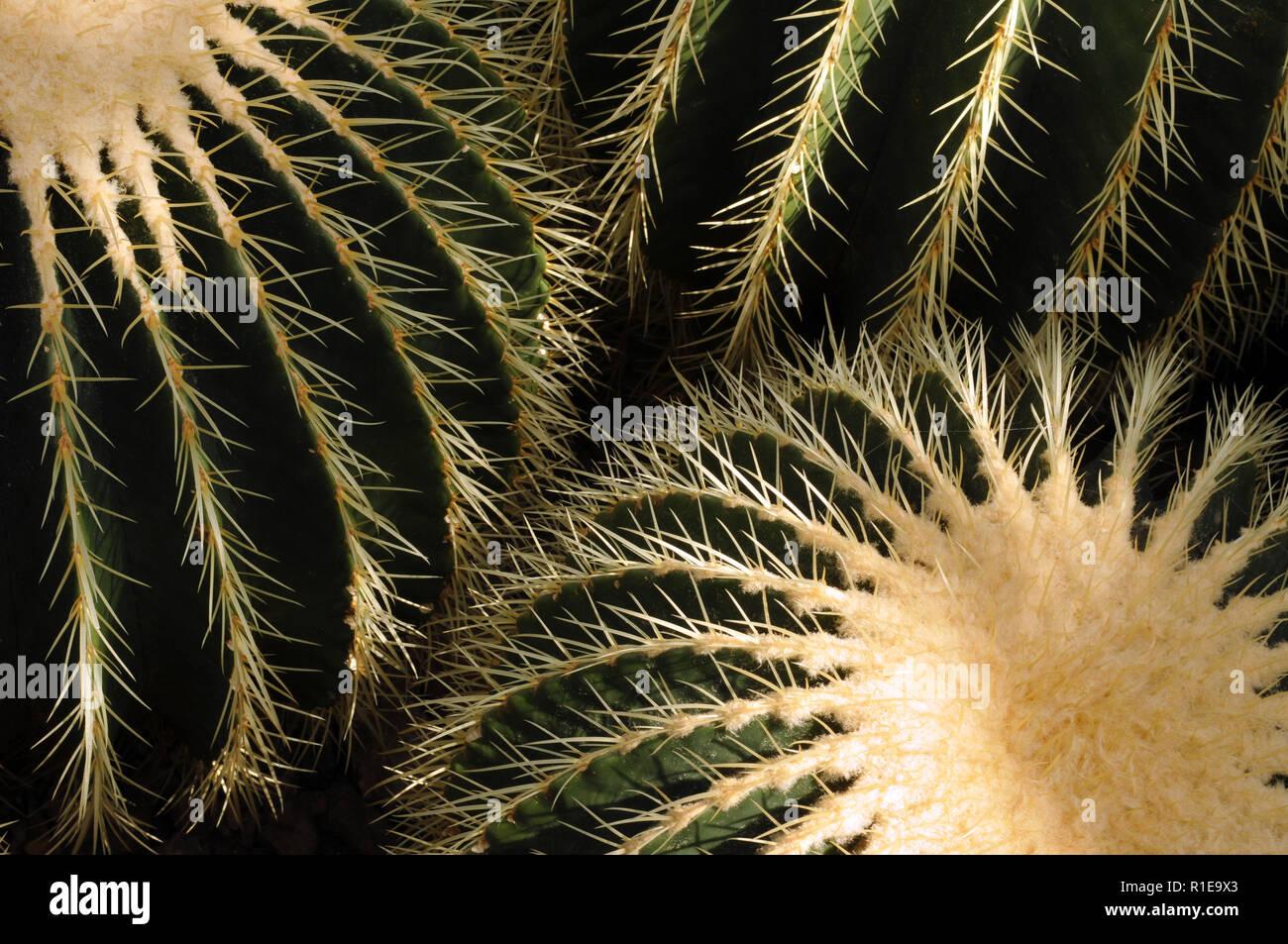 Il golden barrel cactus, Echinocactus grusonii, è nativo di Messico ma comunemente è cresciuto come un deserto decorativi o a basso contenuto di acqua da giardino di piante di accento. Immagini Stock