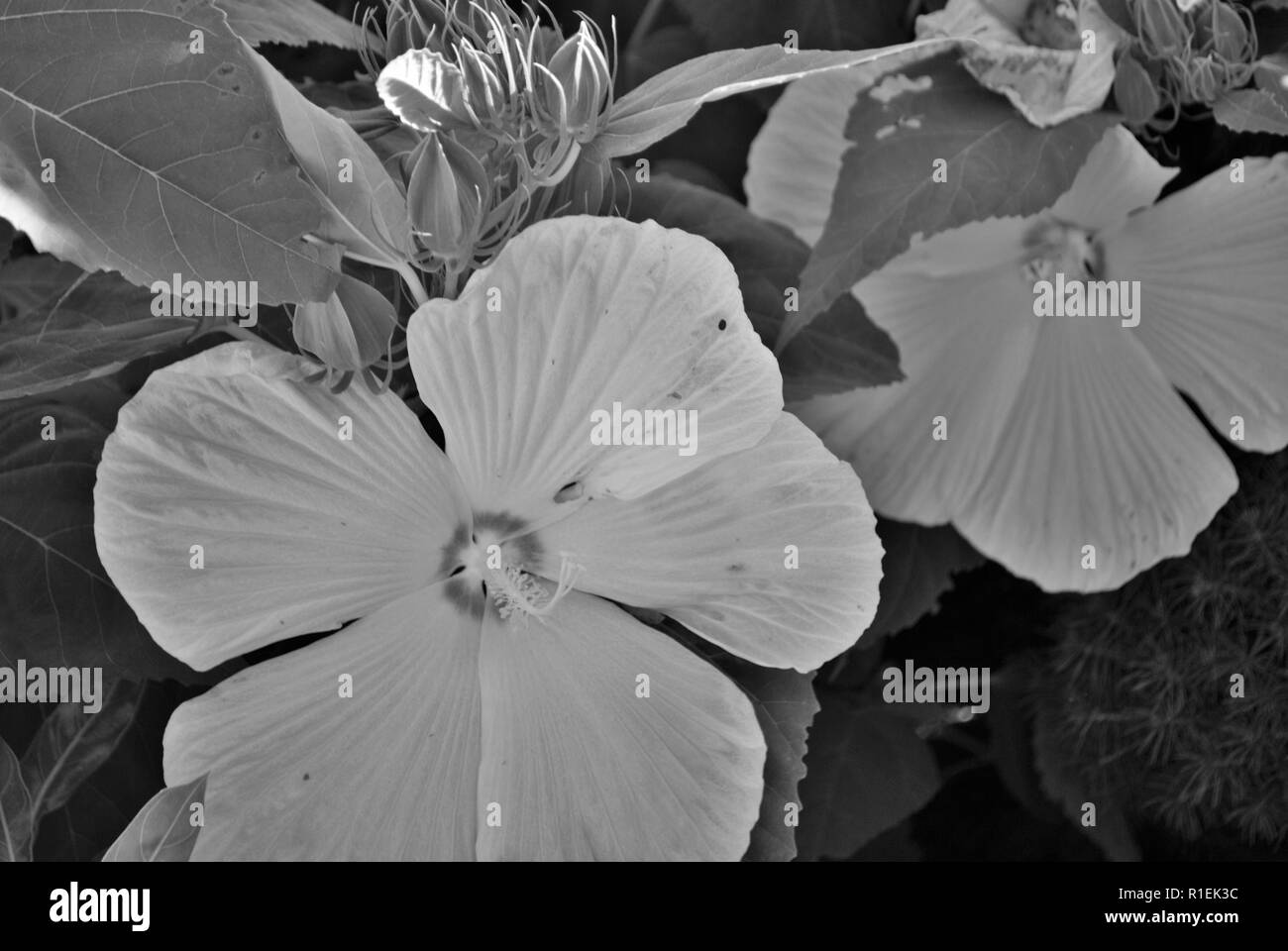 Fiori Bianchi Con 5 Petali.Bianco Fiori Di Ibisco Con Cinque Petali Di Grandi Dimensioni Foto