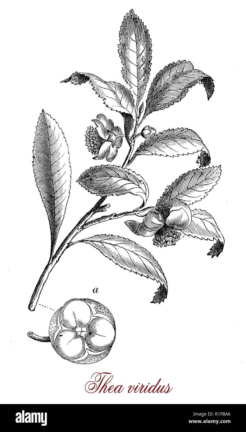 Vintage incisione botanico di Camellia sinensis piccolo albero nativo di Asia Orientale,le foglie sono utilizzate per la produzione di tè, foglie differenti età produce diverse qualità di tè Immagini Stock