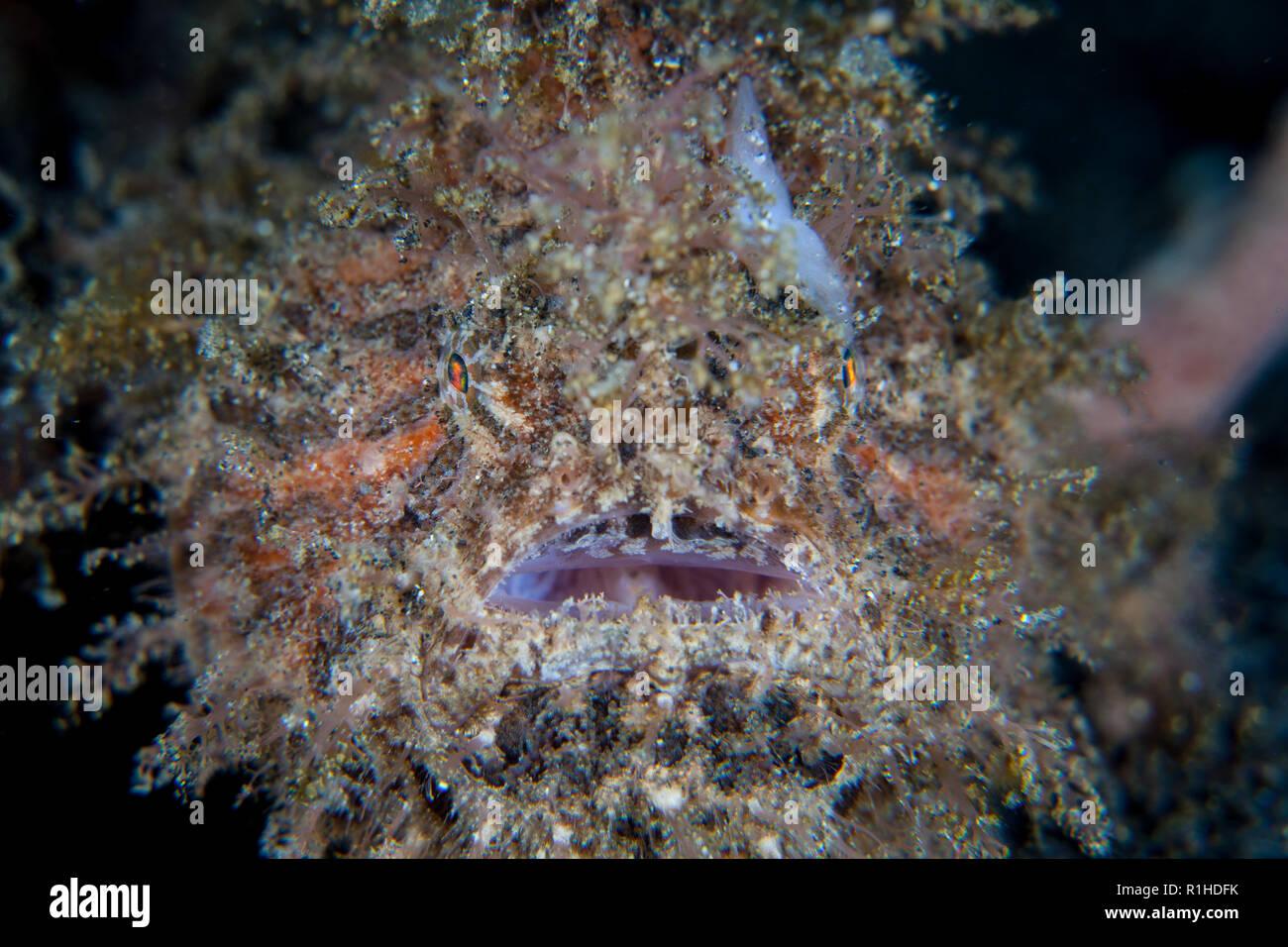 Una rana pescatrice striato, Antennarius striatus, utilizza la sua incredibile camouflage per fondersi con l'ambiente sottomarino nello stretto di Lembeh, Indonesia. Immagini Stock