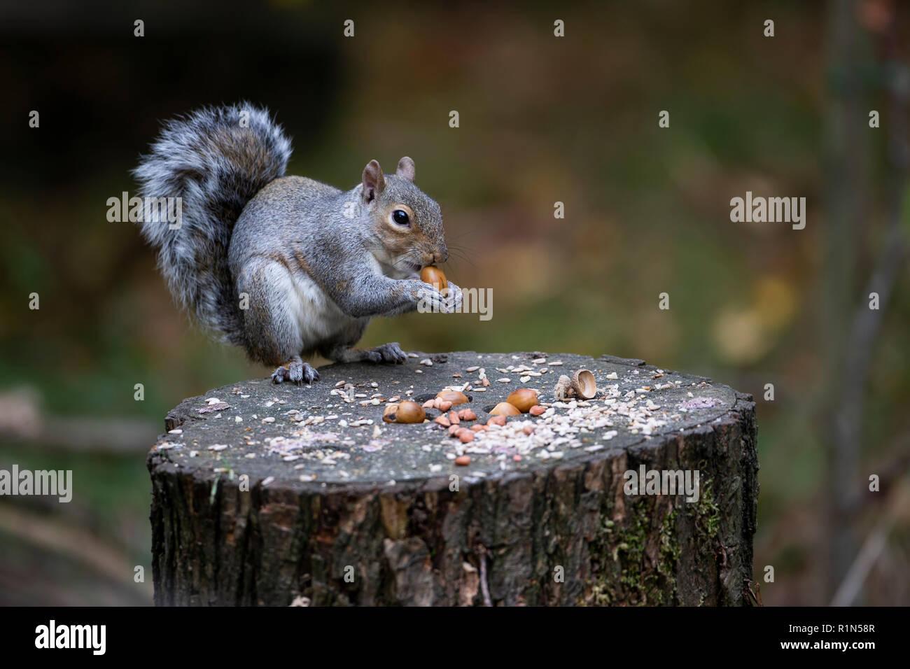 Scoiattolo grigio Sciurus carolinensis o orientale scoiattolo grigio seduto su un cibo coperto segati ceppo di albero e mangiare una ghianda. Immagini Stock