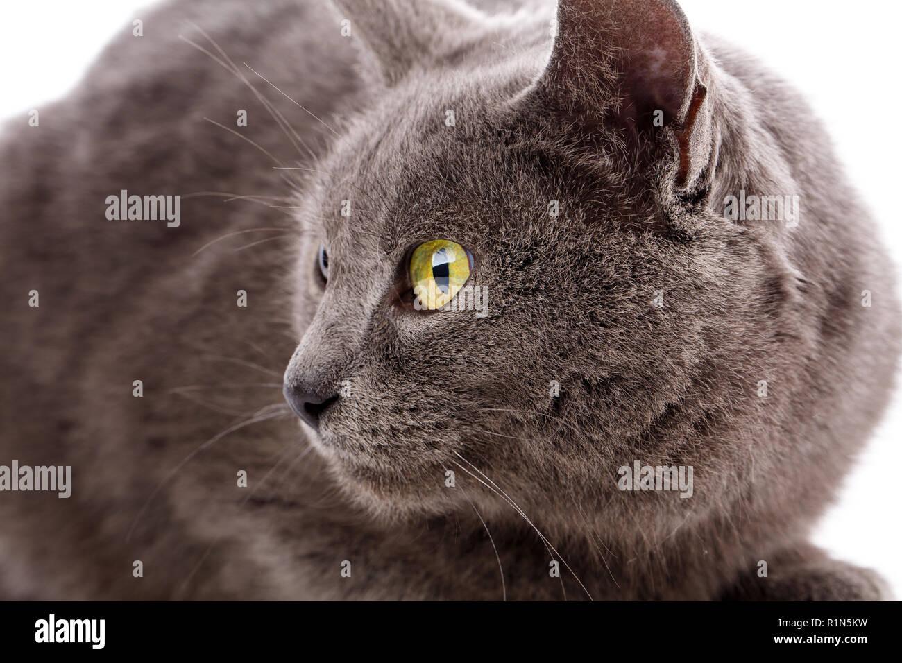 Ritratto di gatto senza razza. Un semplice gatto grigio Immagini Stock
